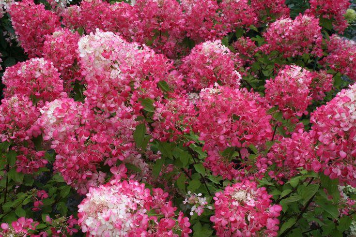 Hortensia paniculata Diamant Rouge® (Hydrangea paniculata)