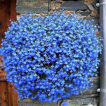 Hanging flower / balcony flower / flower blue flower seed flax seed sowing spring and autumn seasons Pan American species