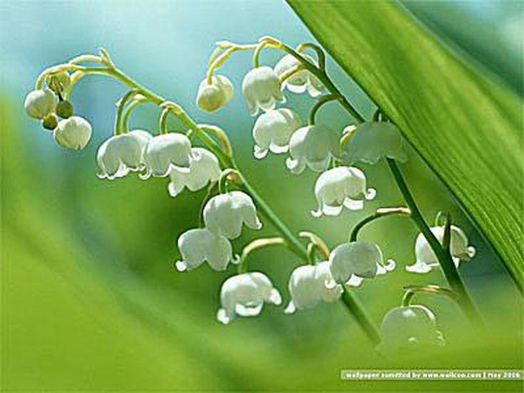 23 Free Flower Wallpapers to Brighten Your Day: Lily of the Valley by Wallcoo.net