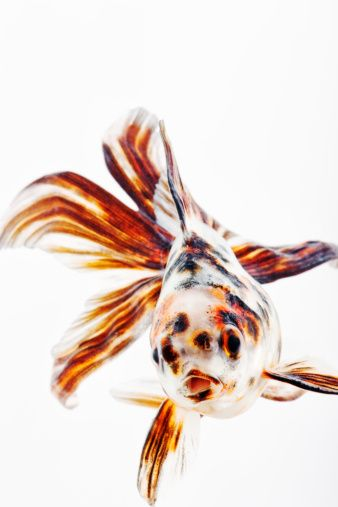Calico Fantail Goldfish - AWESOME class pets because over time they learn to respond to people who approach the tank!