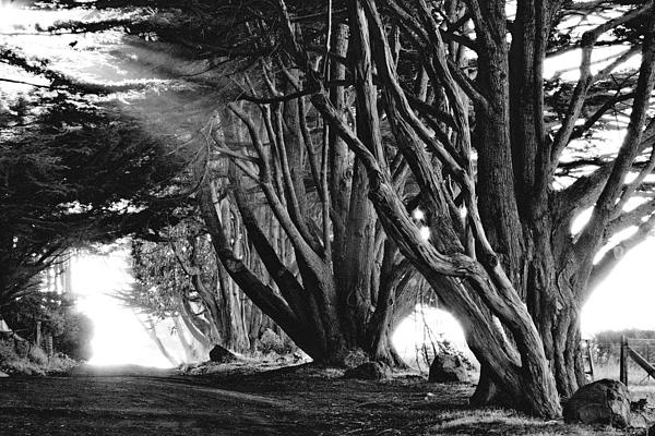 Amazing multiple-trunk trees. Photograph by Ansel Adams