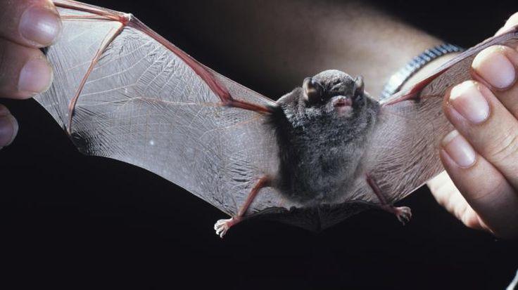Weltweit Gibt Es Etwa 900 Fledermausarten, Davon Sind Mehr Als 90 Arten In  Australien Heimisch