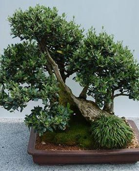 Bonsai Olivo | Olive Bonsai - #plantas #decoracion #bonsais