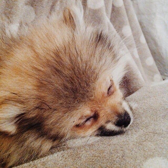 Sweet Dreams  #cute #pomaranian #puppy #sleeping #dog #Padgram