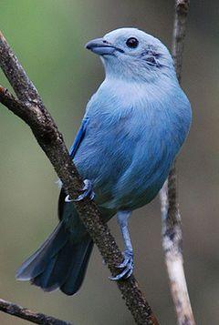 Hura' au (Sanhaço azul)