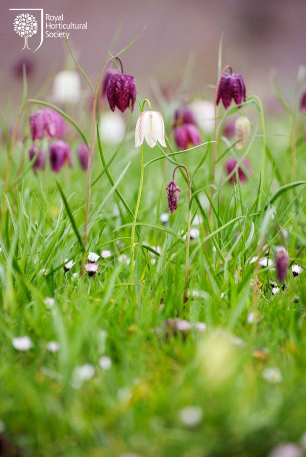 138 best Fritillaria images on Pinterest Beautiful Bulbs and Garden