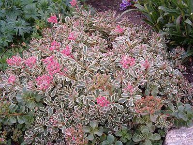 Tricolor Sedum: Gardens Succulentpl, Sedum, Succulents Plants, Succulents Sedum, Tricolor Sedum, Stonecrop Tricolor, Spurium Tricolor, Sedum Tricolor, Gardens Plants