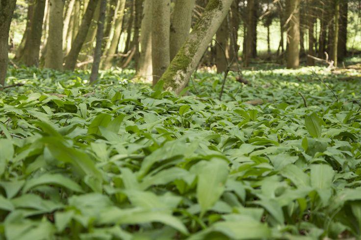 Ein eindeutiges Zeichen, dass Frühling ist:  Bärlauch färbt den Waldboden grün…