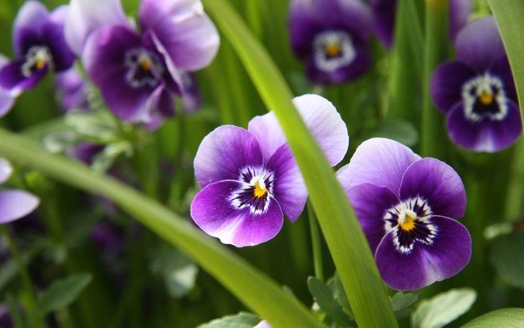 зелень, цветы, фиолетовые, макро, растения, анютины глазки, трава, природа