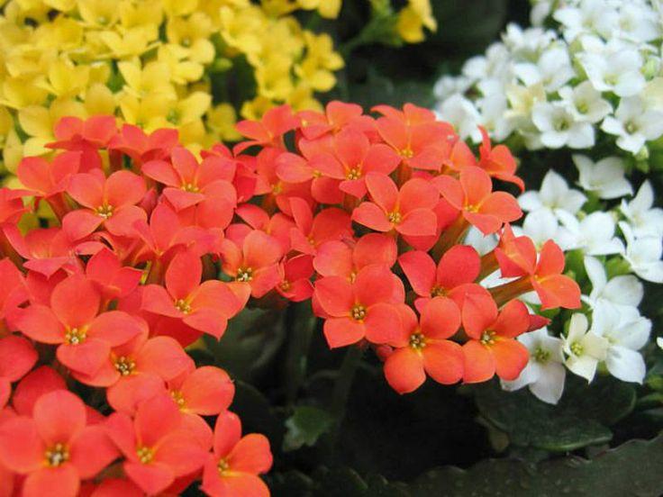 Kalanchoe blossfeldiana (Flaming Katy, Christmas Kalanchoe) → Plant characteristics and more photos at: http://www.worldofsucculents.com/?p=7162