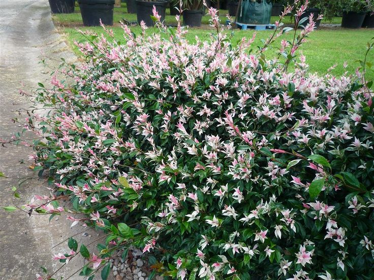 Trachelospermum tri-colour