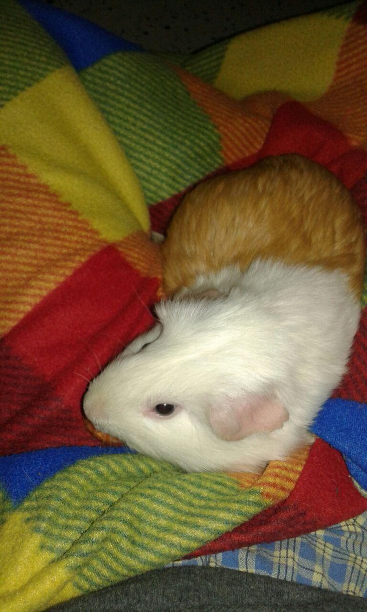 Guinea pig Nana