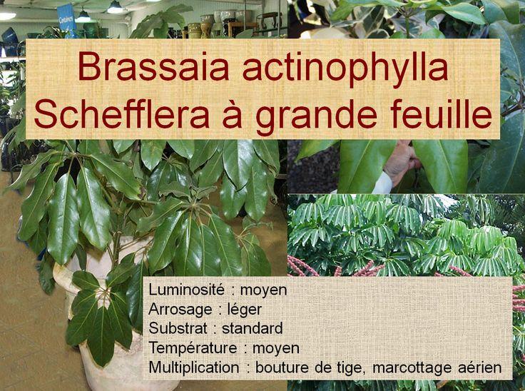 Brassaia actinophylla Schefflera à grande feuille