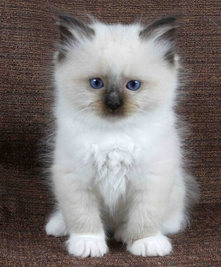 chocolate ragdoll kittens - Google Search