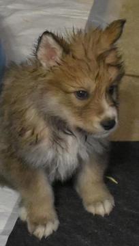 Wolf Hybrid puppy for sale in ODESSA, TX  ADN-68677 on