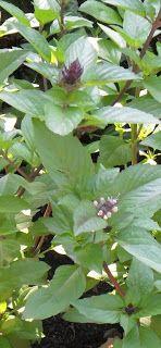 Backyard Patch Herbal Blog: Herb of the Week - Cinnamon Basil