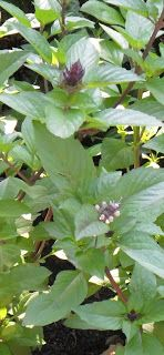 Backyard Patch Herbal Blog: Herb of the Week - Cinnamon Basil