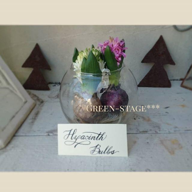 Instagram media by green.stage - かわいいなぁ⚜️⚜️⚜️ この花器に、2ついれたらちょうどよかった(*^^*) お水はほんの少し。球根が腐らないように。 #ヒヤシンス#半日陰の庭#シェードガーデン#ガーデン#ガーデン雑貨#マイガーデン#ガーデニング#球根#カリグラフィー初心者#garden#gardenlove#mygarden#shadegarden#calligraphybeginner#hyacinth #bulbs