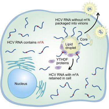 The Cell Strikes Back at RNA Viruses