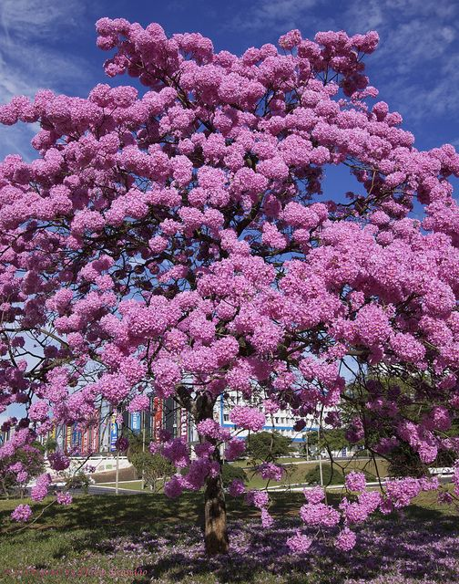 Softwood Trees In Florida ~ Pink lapacho tabebuia impetiginosa zones fast
