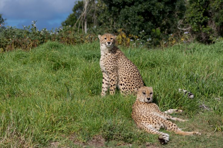 Cheetahs in the Wild by Charissa Lotter (de Scande) on 500px