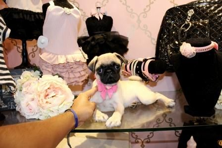 Pug Puppies for sale and Teacup Dogs For Sale - Teacup Puppies Store