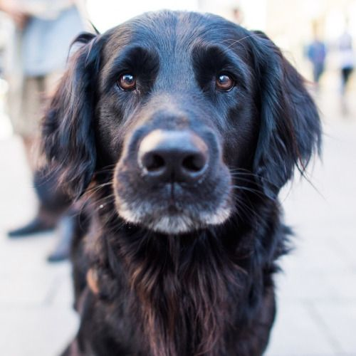 Luke, Flat-Coated Retriever (5 y/o), Karl Johans Gate, Oslo,...