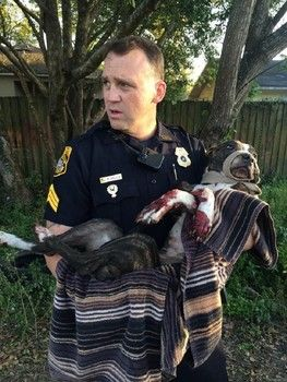 disturbing case of animal cruelty involving dog that'd been shot, left tied to railroad tracks with belt !! - shot multiple times - neck & shoulder, then tethered injured dog to train tracks in Sulphur Springs area - thanks to intervention of the Tampa Police Department, now stabilized at Veterinary Emergency Center, but will need to have one wounded leg amputated; anyone with information is asked to phone - hero Senior Sergeant R Mills - a mega star