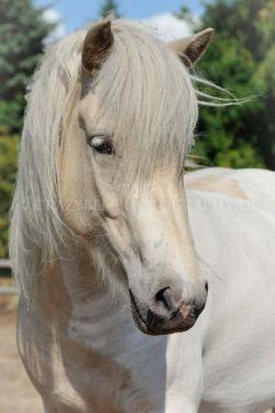 Bildhübsche Isabellscheckstute - Islandpferd Isländer in Herzogtum Lauenburg - Krummesse | Ponys günstig kaufen | eBay Kleinanzeigen