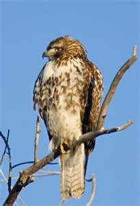 Red-tailed Hawk: Awesome Animal, Power Animal, Birds Watches, Backyard Birds, Hawks Owl Birds, Redtail Hawks, Red Tail Hawks, Feathers Friends, Wild Birds