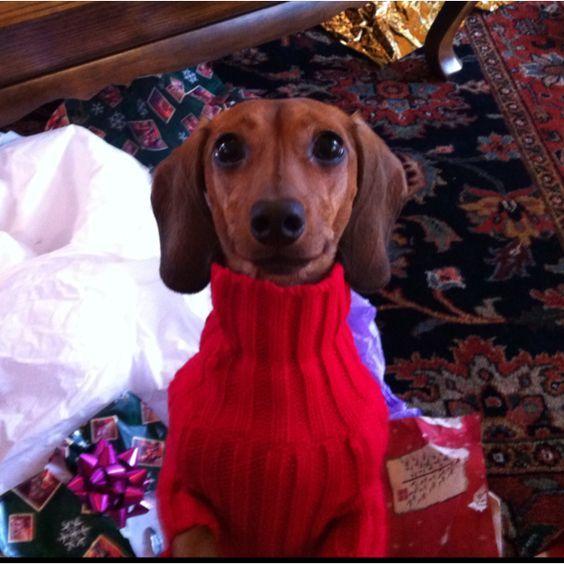doxie in a turtle neck sweater..chic, sleek and posh..elegant doxie..wearing it soo soo well..u go doxie beauty: