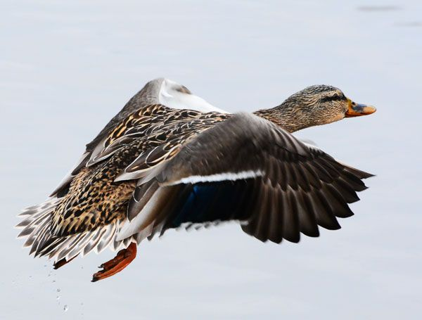 Tips for Photographing Birds in Flight. A Post By: Bruce Wunderlich. http://digital-photography-school.com/tips-for-photographing-birds-in-flight/