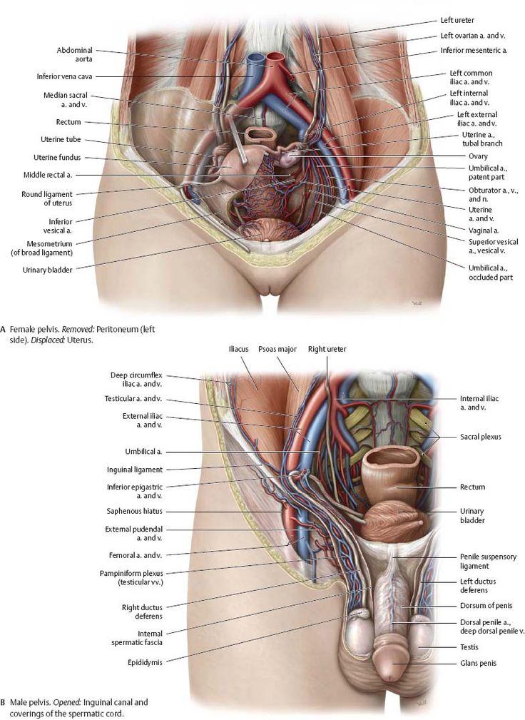 11 best sameer images on Pinterest | Gross anatomy, Medical anatomy ...