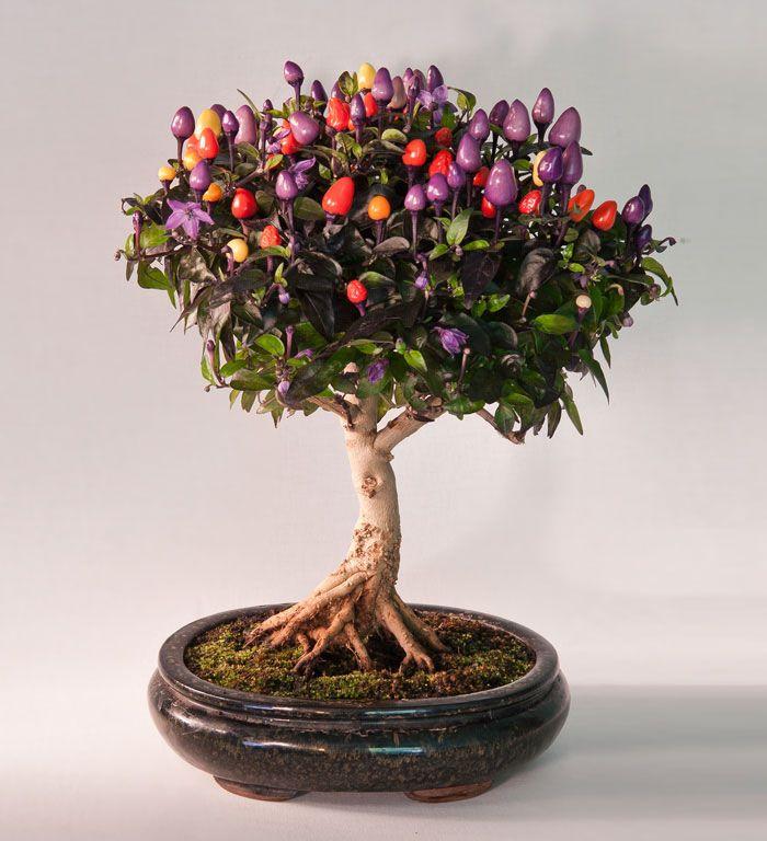 Resultado de imagem para imagens de bonsais frutiferos