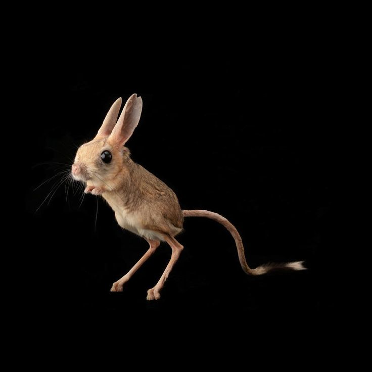 natgeophoto by @joelsartore | A four-toed jerboa at the Plzen Zoo in the Czech Republic