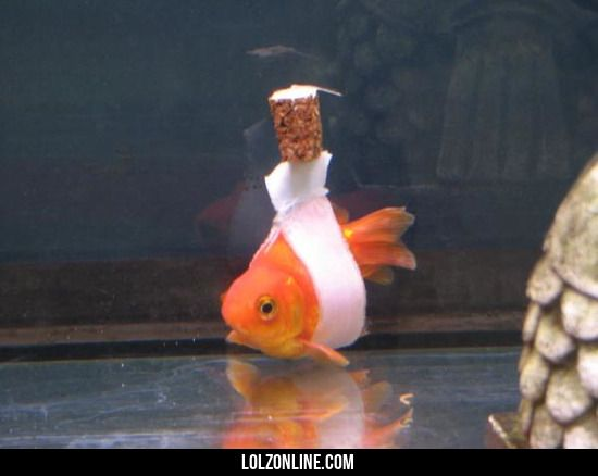 "Goldfish ""wheelchair"" for a fish that had trouble staying upright #lol #haha #funny"