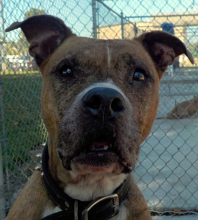 Sally - URGENT - Stark County Dog Warden in Canyon, Ohio - ADOPT OR FOSTER - Young Female Pit Bull Terrier - Available September 29, 2017