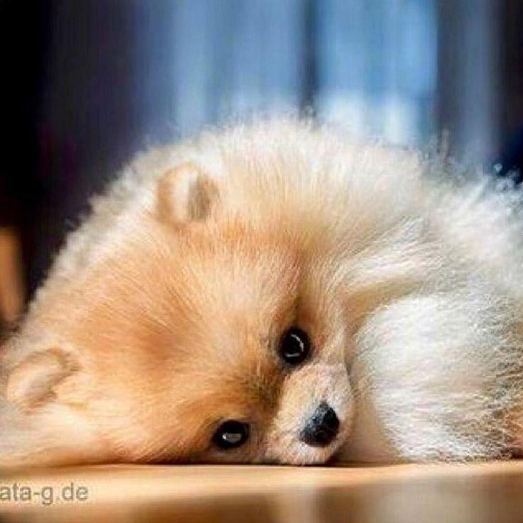 Pomeranian shy guy #Pomeranian
