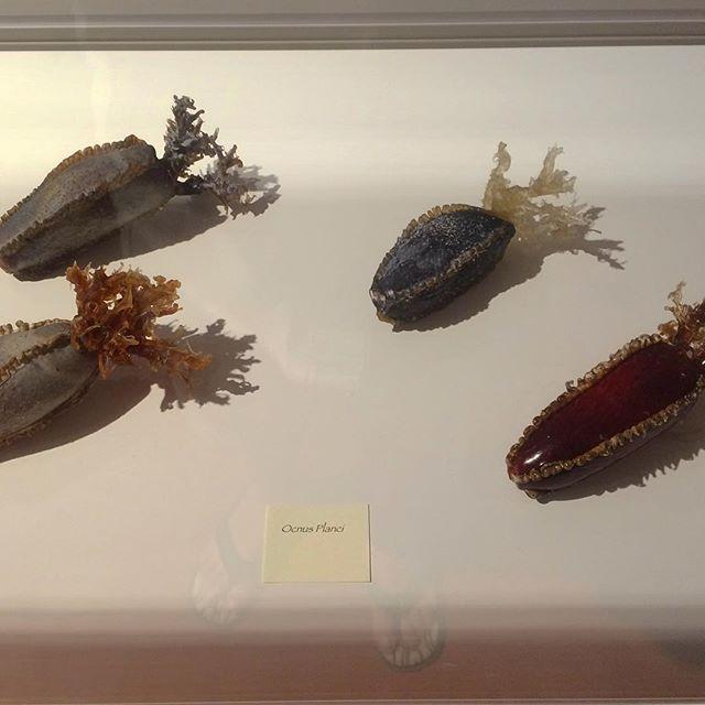 Solo exposition in Glass Museum in Murano - Mauro Vianello - La lavorazione a Lume -  Oloturie  #maurovianello #Blaschkatribute #seacrestions #sesslugs #nudibranch #sealife #eccellenzeitaliane