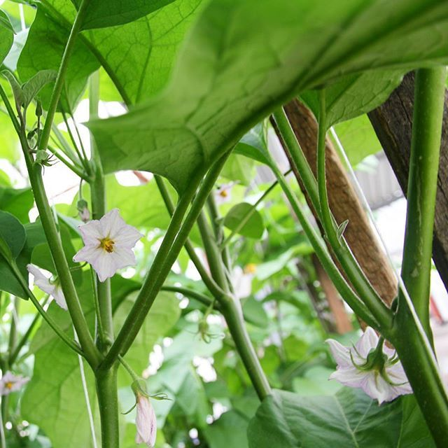 🌸🍆 Take a look at these beautiful eggplant flowers at our Moore Park greenhouse facility. These flowers contain both types of reproductive organs (pistil and stamens) and can perform self pollination. #eggplant #greenhouse #nature #aussiefarming #moorepark #carterandspencer