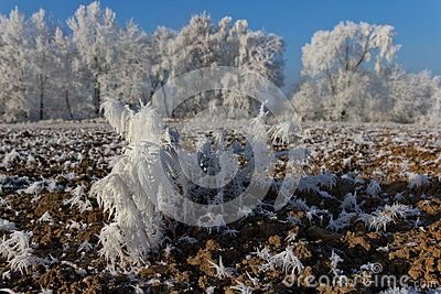 Frost plant in the field in winter close up landscape