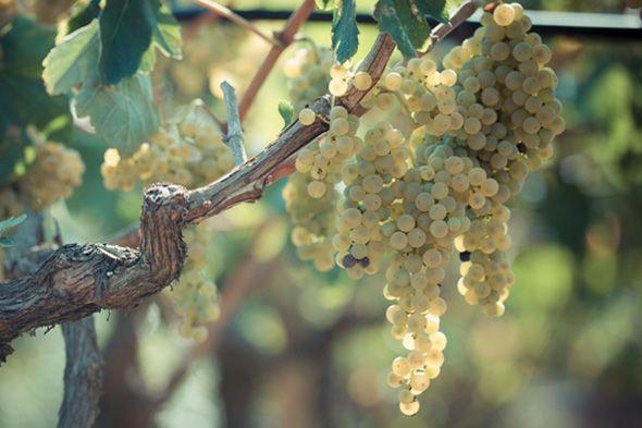 Il vino è il canto della terra verso il cielo.