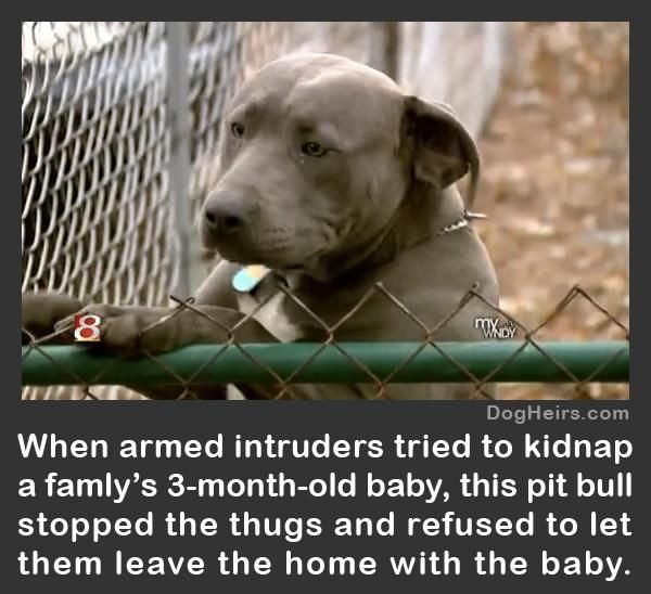 funny pitbull pictures with captions   Read more about this heroic pit bull here: http://www.dogheirs.com ...