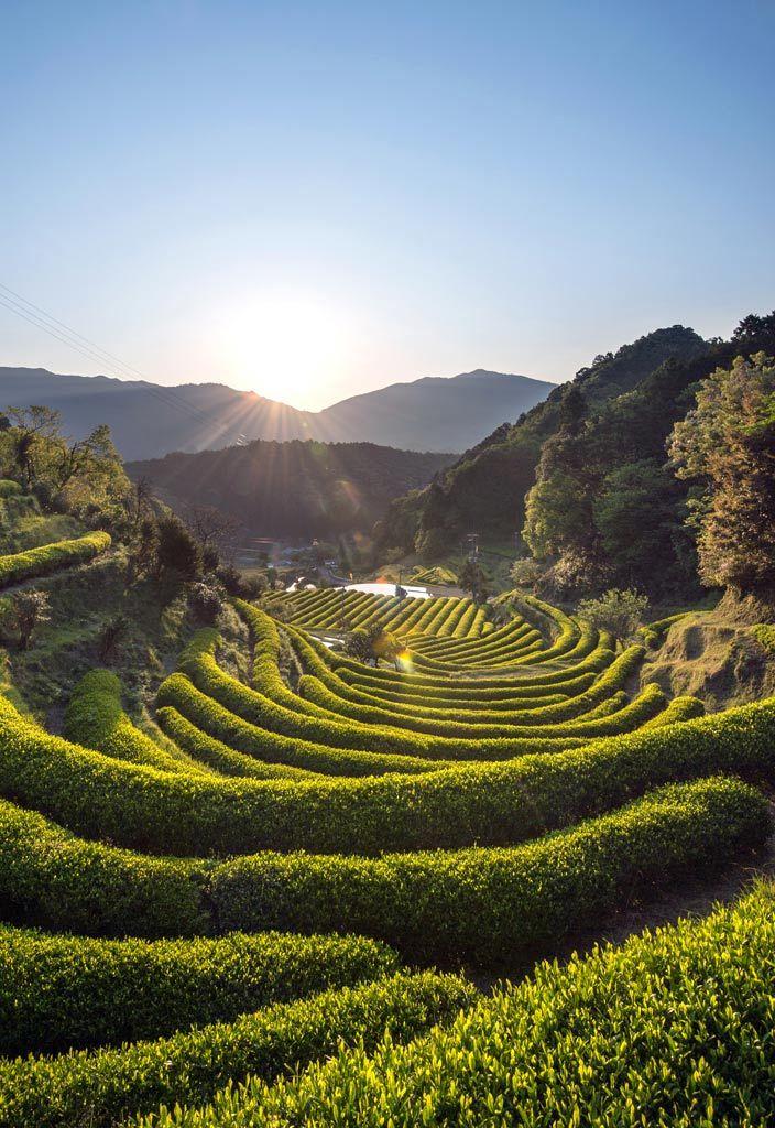 Green tea farm at Katsuura, Wakayama, Japan