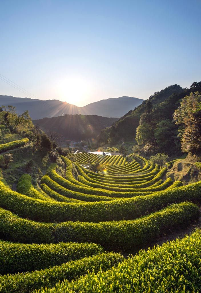 Green tea farms are a sight to behold across Japan. This one at Katsuura, Wakayama, Japan