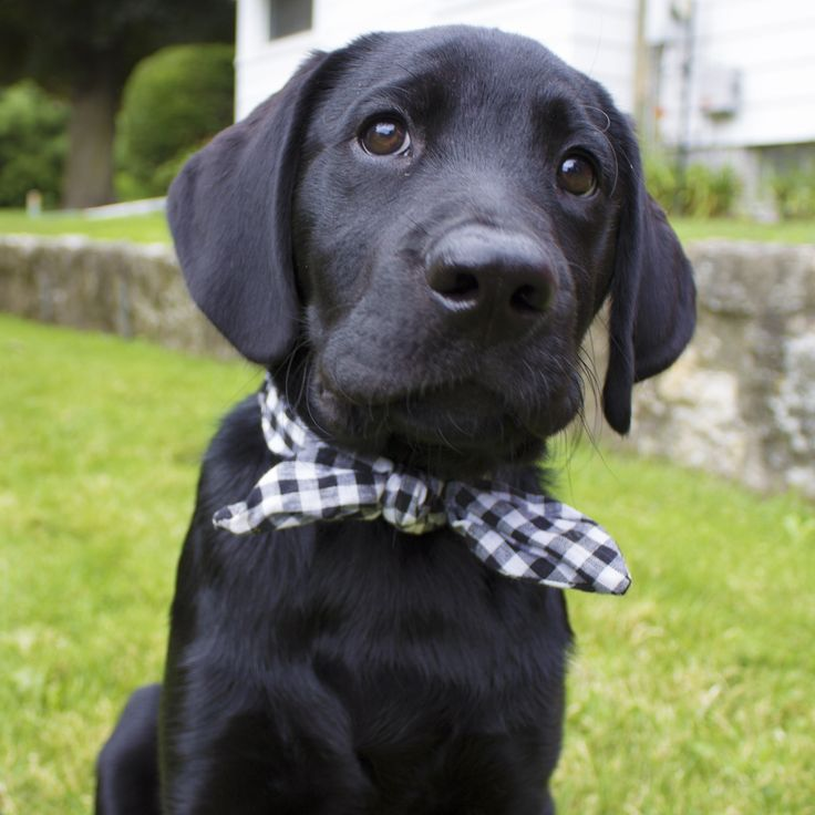 Black Lab Puppy in a Bow Tie