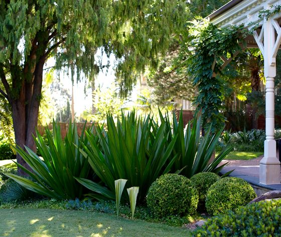 Doryanthes palmeri - Gymea Lily for Sweedmans entrance with lomandra and agave attendua.