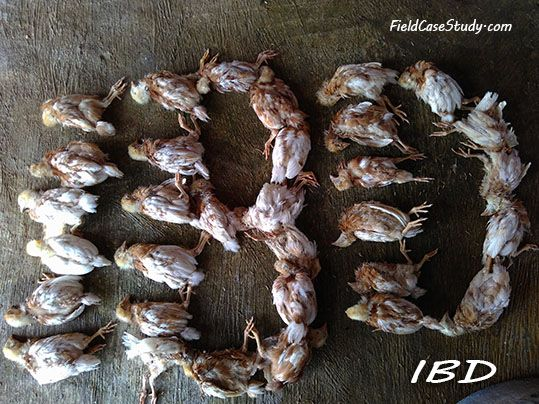gumboro, ibd, bursa, fabricius, chicken farming, poultry farming, fieldcasestudy.com