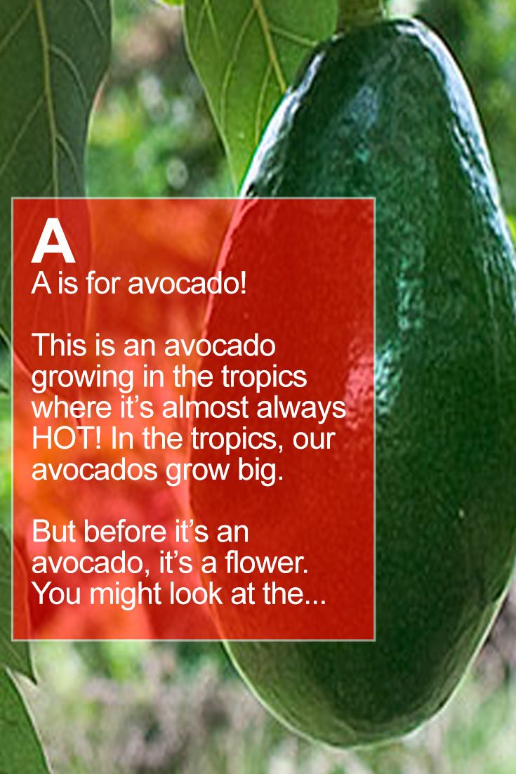 We Grow Big Avocados Sometimes 2 Lbs This Fruit Has A Story To Tell Perfect For Sharing With Your Kids And Grandkids See How In 2020 Farm Fruit Love Its An Avocado