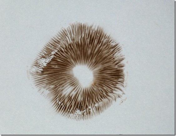 Making Mushroom Spore Prints